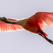 Roseate Spoonbill Fly-over