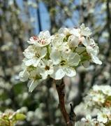 29th Apr 2021 - Blossoms