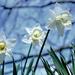 Daffodil 30