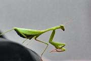 29th Apr 2021 - Preying mantis