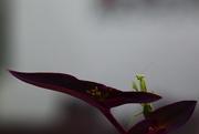 30th Apr 2021 - Preying mantis