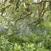 Bluebells at Elford