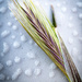 Wild grass  - Sandmarc macro lens