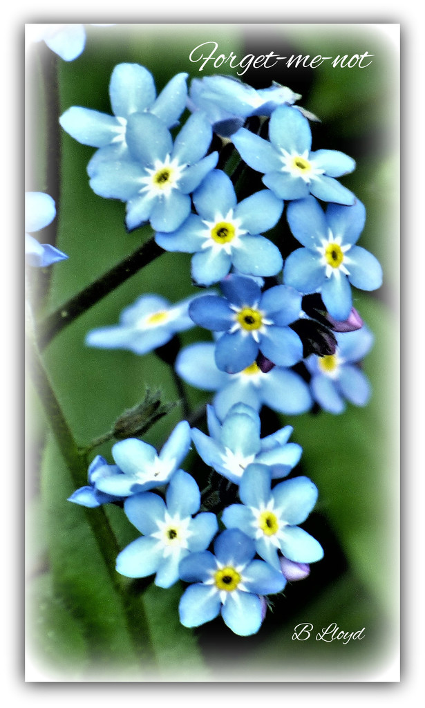 Forget-me-not  by beryl