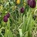 Black Knight Tulips