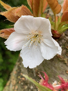 29th Apr 2021 - Blossom