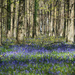 Bluebells  by josiegilbert