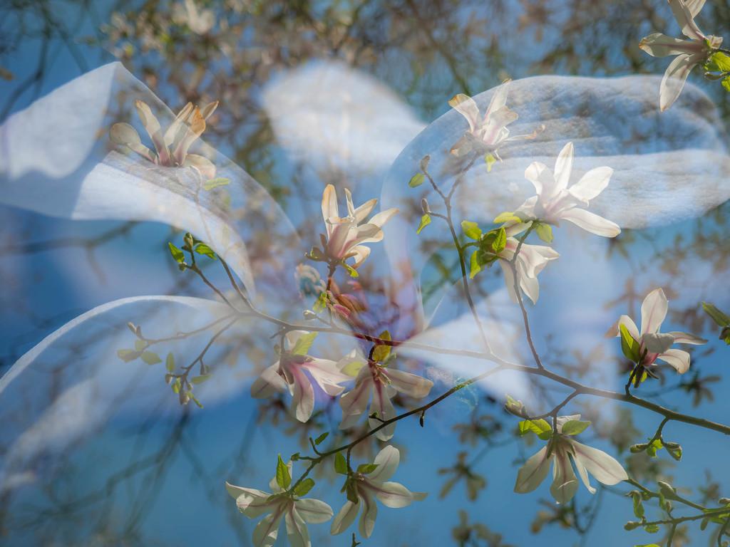 Magnolia by haskar