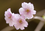 30th Apr 2021 - Japanese Cherry Blossoms