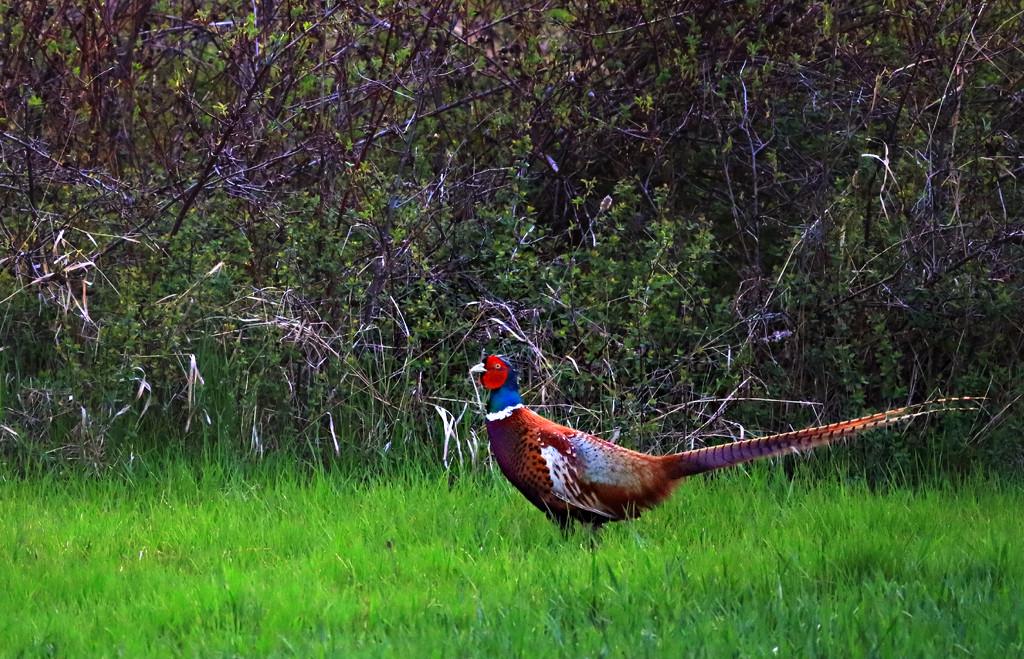 Pheasant by gq
