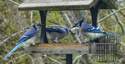 30th Apr 2021 - Blue Jay Party