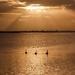 Sunrise swans at the estuary by maureenpp