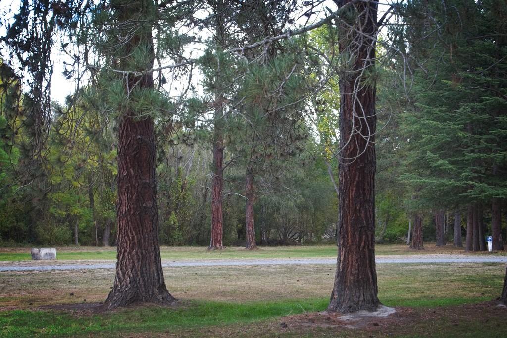 Two trees twice by kiwinanna