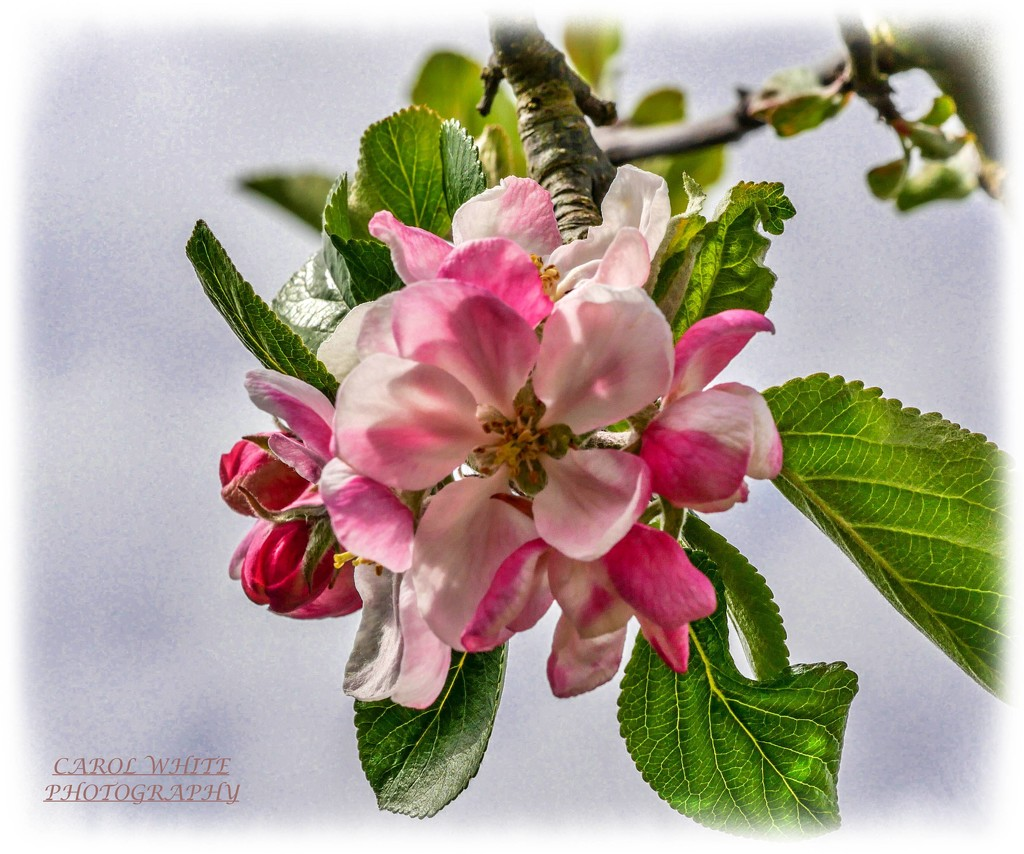 Apple Blossom by carolmw