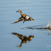 Blue-winged Teal by dridsdale