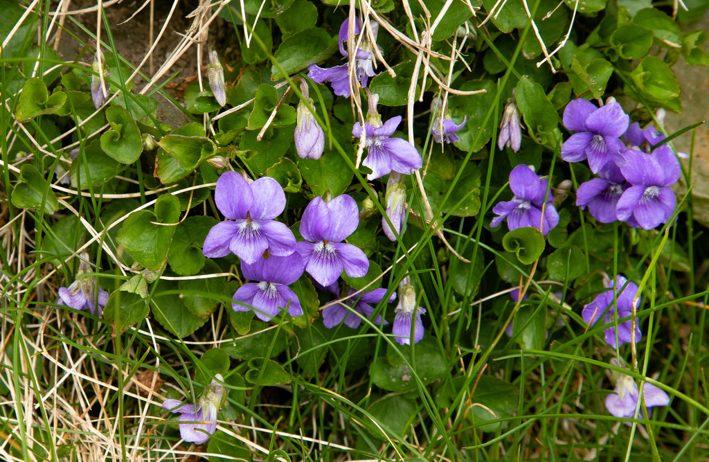 Dog Violet by lifeat60degrees
