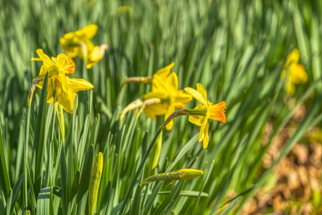 Daffodils by kvphoto