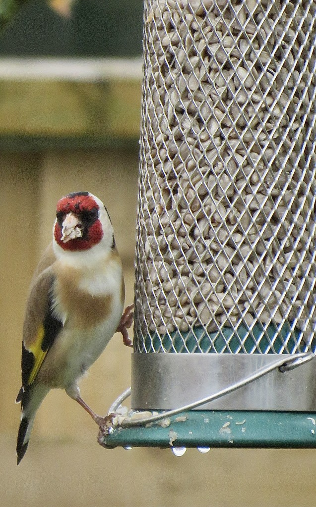 Goldfinch by phil_sandford