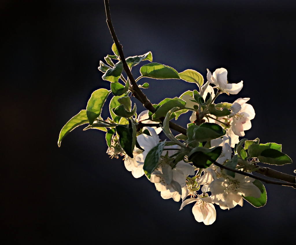 Evening Sun On the Apple Blossoms  by gq