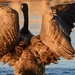 The Goose in all His Glory by kareenking