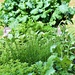 day 118 - Spring herb and vegtable garden