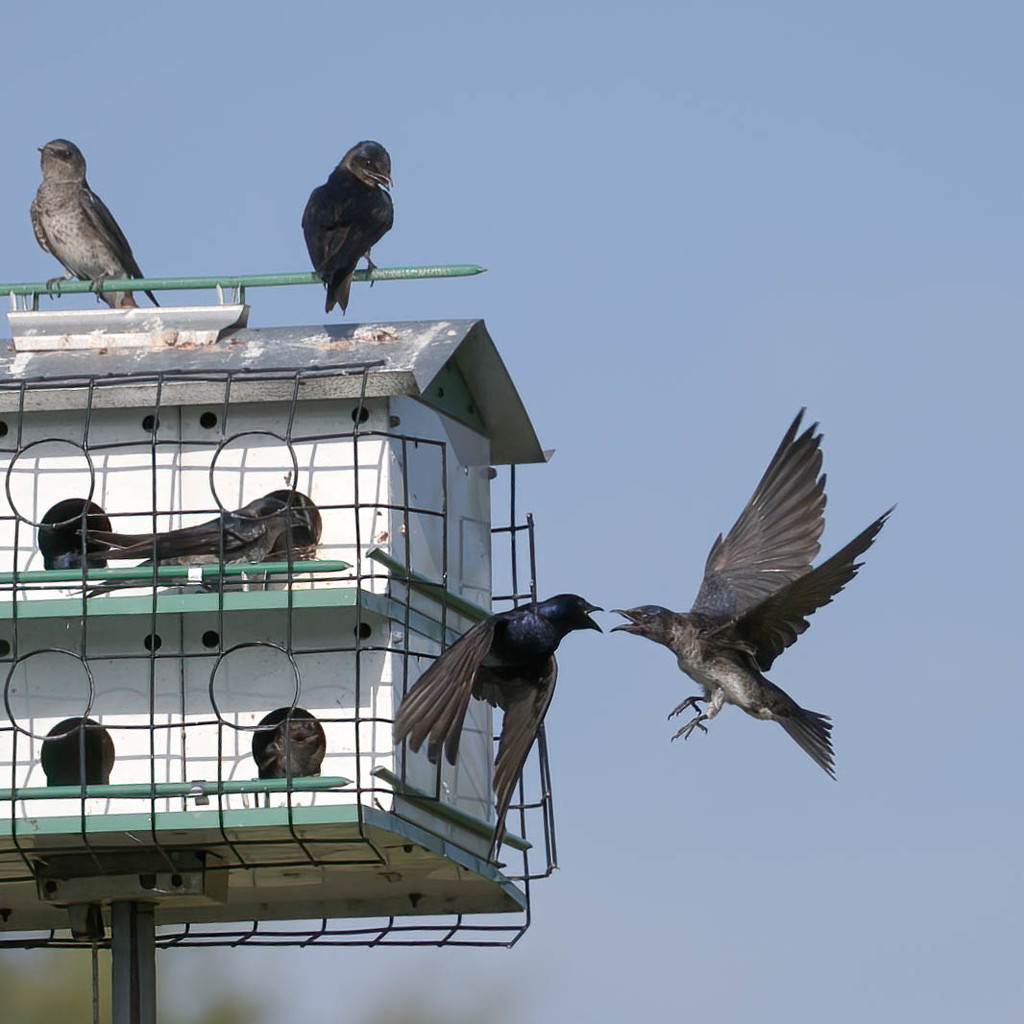 Welcome to the purple martin house   by dutchothotmailcom