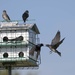 Welcome to the purple martin house