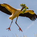 Woodstork Coming in for a Landing at the Nest!