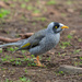 Noisy miner-Native Honeyeater