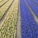 Half white Half blue hyacinths
