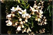 2nd May 2021 - Choisya (Fragrant Mexican Orange )