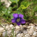 A little violet (?)
