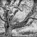 Old Sycamore, Formakin Estate