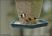 2nd May 2021 - Goldfinch