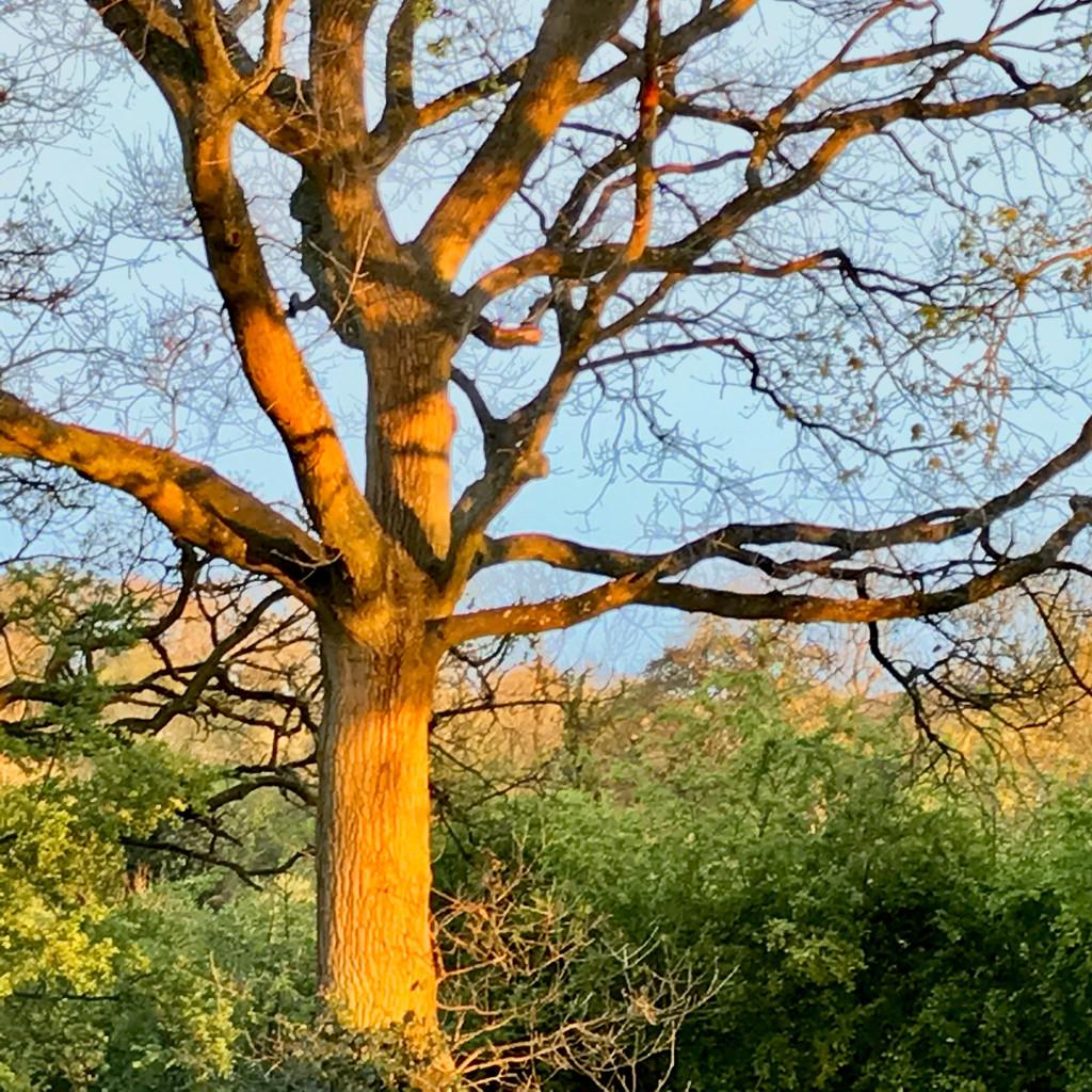 Evening Oak by daffodill