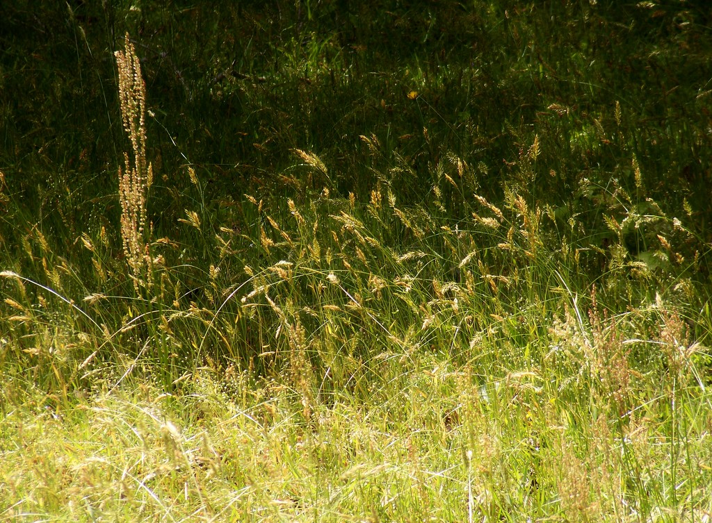 Sweet vernal grass, heart-wing sorrel and more... by marlboromaam
