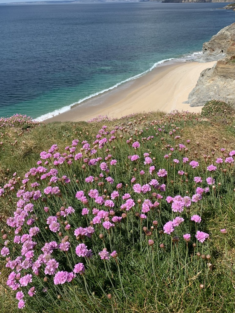 Sea Thrift by pixel365