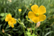 2nd May 2021 - Buttercup