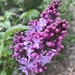 The lilacs are blooming by mjmaven