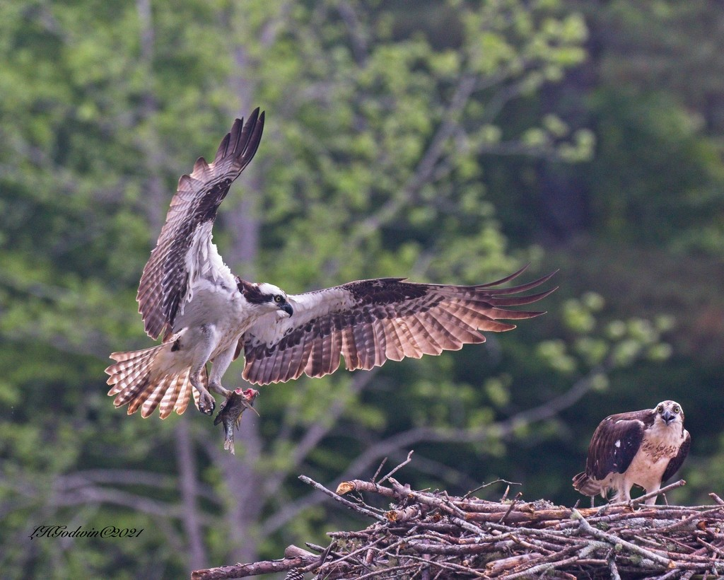 LHG-0087- Ospreys with fish for her by rontu
