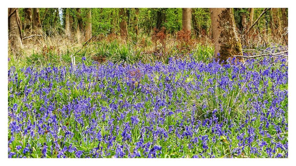 Bluebell woods by photopedlar