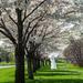 Centennial Park Japanese Cherry Trees