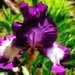 First Iris to bloom