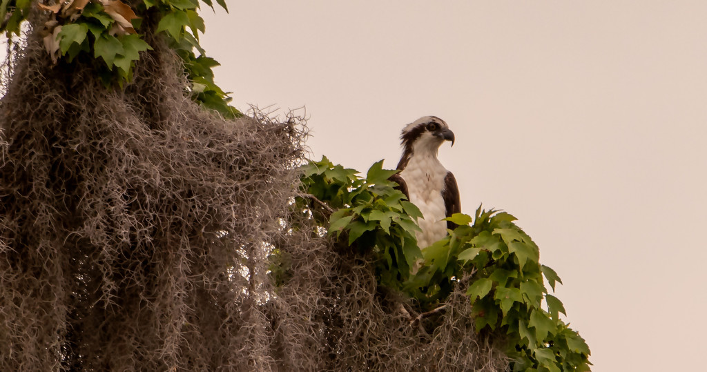 Osprey Searching the Waters! by rickster549
