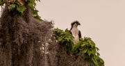 2nd May 2021 - Osprey Searching the Waters!