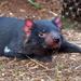 Tasmanian Devil by gosia