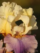 29th Apr 2021 - Golden iris macro