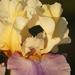 Golden iris macro