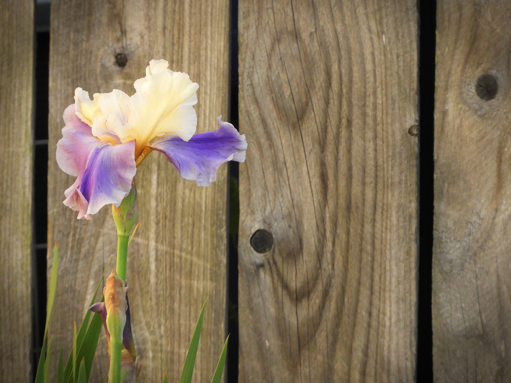 Iris by the fence by homeschoolmom