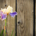 Iris by the fence